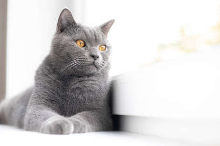 A grey cat is lying on the windowsill. British cat. Article about Pets. Copy space. Window sill advertising.