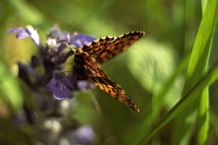 animalitos tiernos: Mariposa Fritillary sentado en la flor