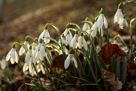 cluster of white snowdrops flowers blooming on hillside in the wood Reklamní fotografie