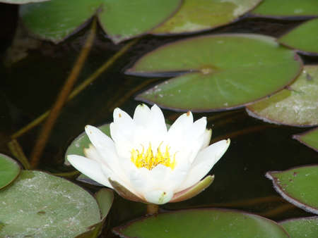 mere: white water lily