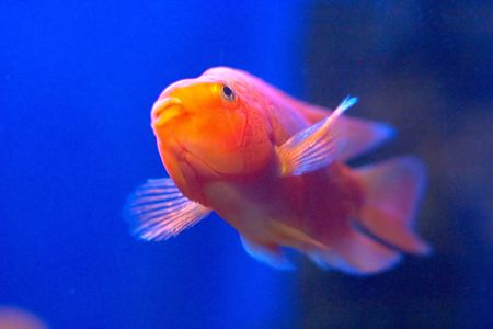 A gold tropical fish in blue water photo