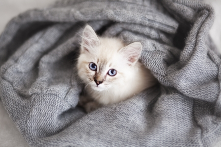 comfortable cozy: Siberian Neva Masquerade kitten lying on a soft bad Stock Photo