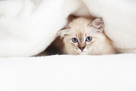 Siberian Neva Masquerade kitten lying on a soft bad photo