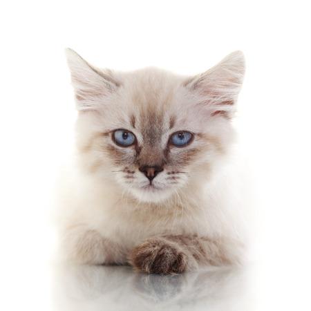 neva: Siberian Neva Masquerade kitten close up portrait Stock Photo