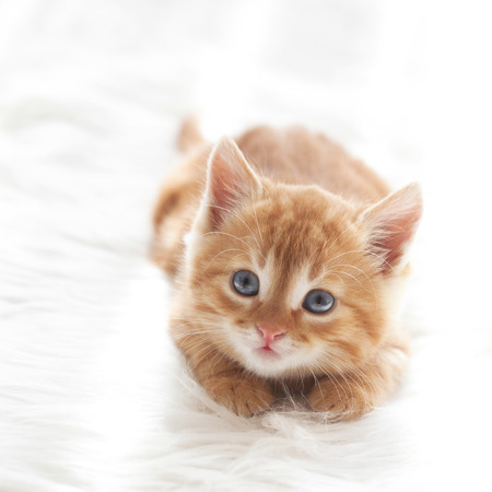 Cute little red kitten lies on fur white blanket Imagens - 28828369