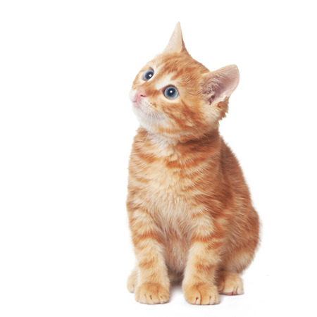 orange cat: Cute red baby kitten isolated on white background