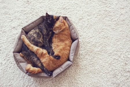 Couple cats sleep and hugging in their soft cozy bed on a floor carpet Imagens
