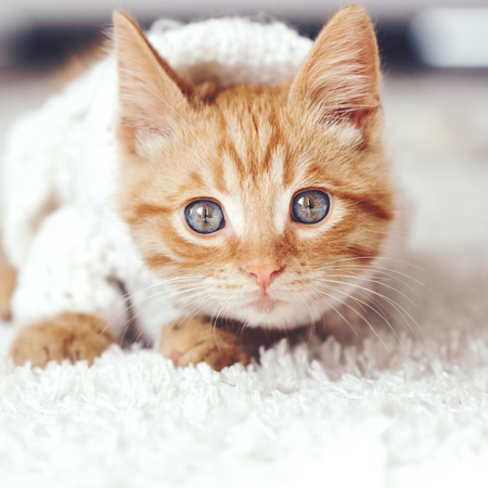 Cute little ginger kitten wearing warm knitted sweater is playing on white carpet