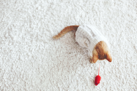 Cute little ginger kitten wearing warm knitted sweater is playing with pet toy on white carpet