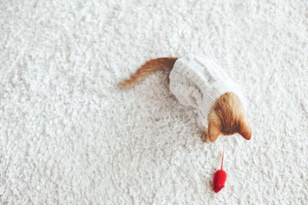 Schattige kleine gember kitten dragen warme gebreide trui speelt met huisdier speelgoed op wit tapijt
