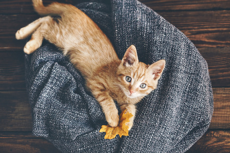 Cute little ginger kitten is resting in soft blanket on wooden floor