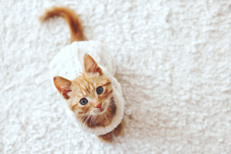 jengibre: El pequeño gatito lindo del jengibre que lleva jersey de punto caliente está sentado en la alfombra blanca, vista desde arriba punto
