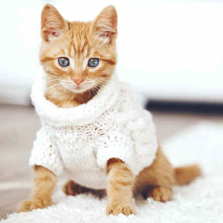 Cute little ginger kitten wearing warm knitted sweater is sitting on white carpet