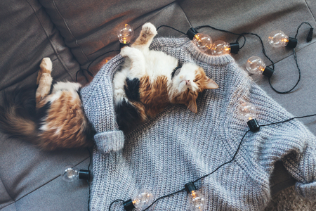 Lazy cat is sleeping on soft woolen sweater on sofa, decorated with led lights. Winter or autumn weekend concept, top view. Фото со стока - 85971666