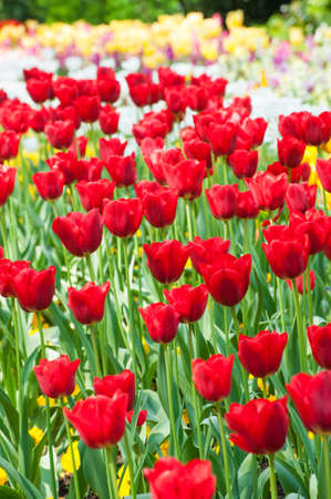 Field of nice red tulips Stock Photo