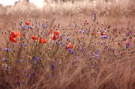 Field with grasses, poppies and cornflowers in the province Italy Stock Photo