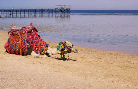 Beautiful amazing nature background. Tropical blue water. Red sea. Holiday resort. Camel animal. Fresh freedom. Adventure day. Luxury paradise. Stock Photo