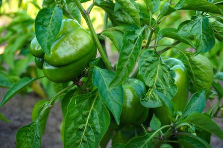 peperoni rossi e verdi che crescono nel giardino
