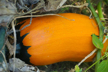Squash Matures on the beds in the garden
