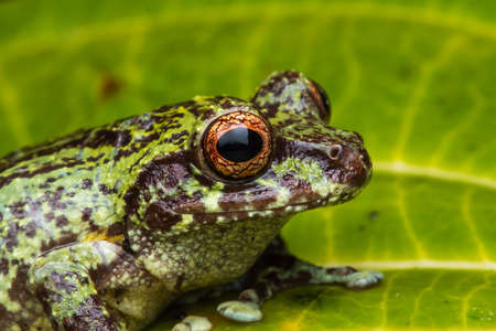 Macro image of Beautiful Frog of Sabah, Borneo Stock Photo
