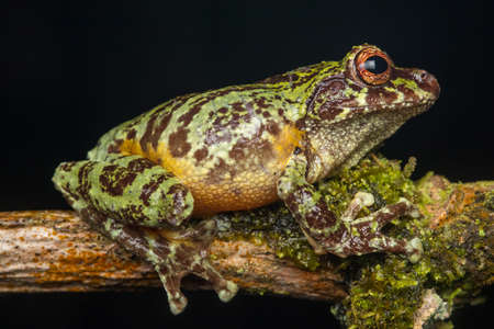 Macro Image of beautiful Tree frog of Sabah, Borneo