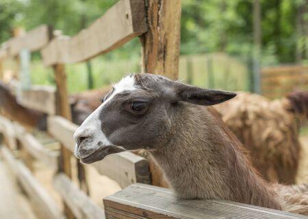 Cute llama, funny animal, standing