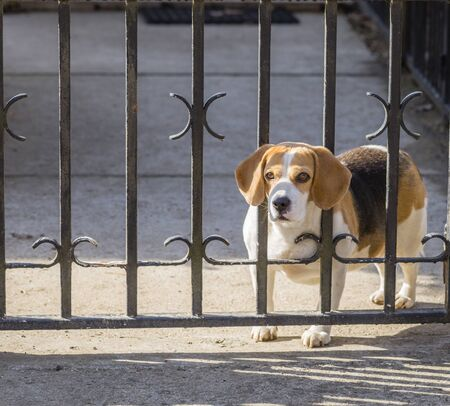 fed up: Spotted Beagle dog looking through gate bars. Sad dog waiting for owners return.