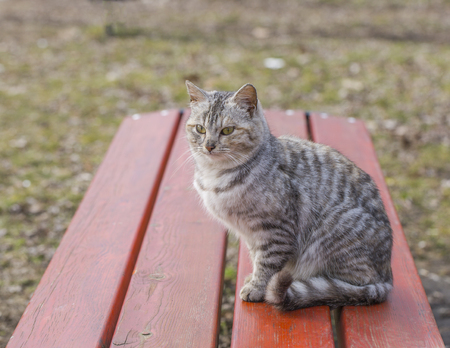 Beautiful striped cat sitting on a wooden bench in the garden Stock Photo