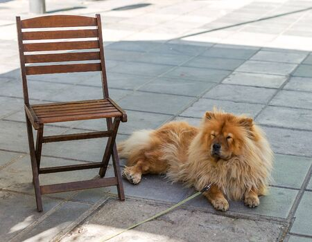 Red chow chow dog dozing in the shadow near the chair. A dog on a leash lying on the floor. Banco de Imagens