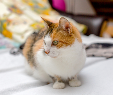Close-up view of tricolor cat with green eyes and red spot on the nose, sitting on the bed