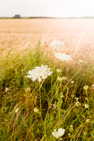 White inflorescence of wild plants Daucus carota, wild carrot on the field. Hungary. Vertical photo