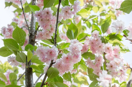 Blossoming branches of Japanese cherry Prunus serrulata Kanzan in a botanical garden. Beautiful pink flowers background