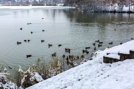 Snow covered lake shore. Flock of wild ducks, male and female, swim in winter lake. Salt lake (Sosto) Nyiregyhaza, Hungary