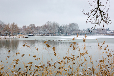 Beautiful scene of half frozen lake. Overgrown with reeds lake shore. A flock of ducks sit on the ice of a frozen lake in winter Zdjęcie Seryjne