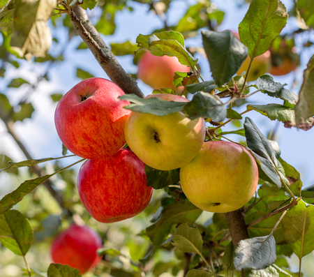 Ripe red, yellow apples on apple tree in the garden. Summer harvest apples