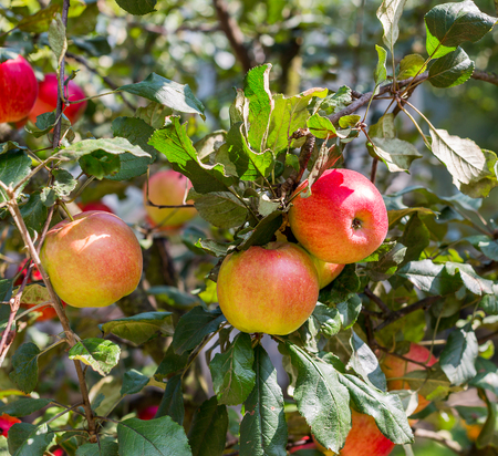 Ripe organic red and yellow apples on apple tree in garden. Summer harvest apples