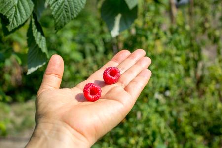Two ripe raspberries in hand on blurred green garden background Imagens