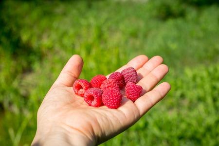 Ripe red raspberries in hand on the blurred green garden background Zdjęcie Seryjne