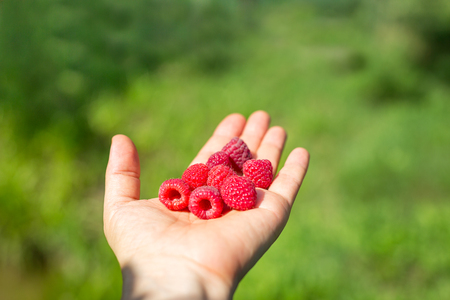 Ripe red raspberries in hand on the blurred green garden background Imagens