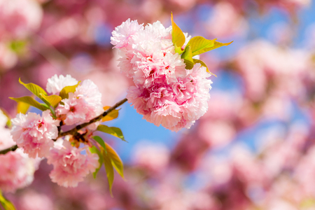 Blooming cherry tree with delicate terry flowers. Pink blossoming branches of Japanese cherry Prunus serrulata Kanzan Imagens