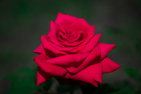 Red rose with dew drops on a dark green background