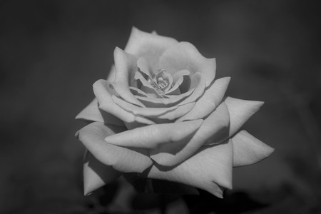 Gorgeous light rose on a dark background. Black and white photography
