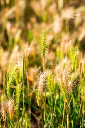 Hordeum murinum, False Barley background. Selective focus.