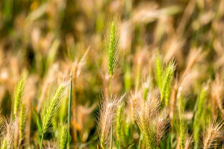 Hordeum murinum, False Barley background, selective focus