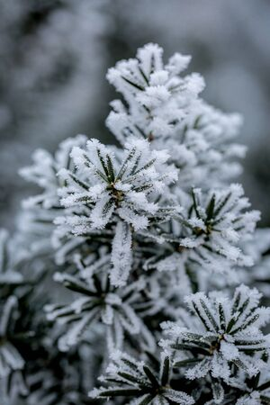 Close up of frost covered juniper branch on winter day Imagens