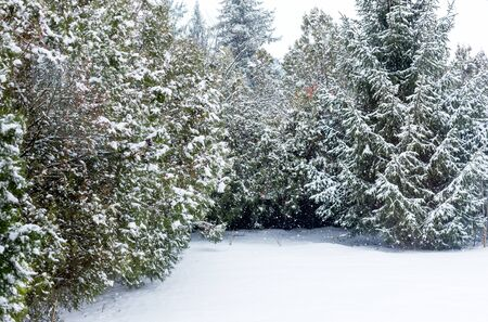 Evergreen thuja, spruce and whole house yard covered with fluffy white snow. It snowing on winter day
