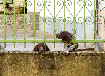 Two German Shorthaired Pointer behind metal fence. One dog looks sad with tears in eyes. Another stuck head through bars, motion blur