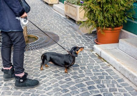 Dachshund on leash in front of building looking and waiting for someone. Owner holds plastic bag for dog droppings Imagens