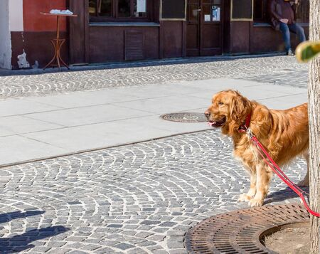 Golden Retriever dog looking and waiting for owner. Golden Retriever dog tied to a tree. Space for text Zdjęcie Seryjne