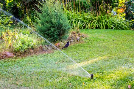 Wet blackbird on a green lawn. Automatic irrigation system watering green grass in summer sunny day. Lawn sprinkler spaying water. Selective focus on bird Imagens